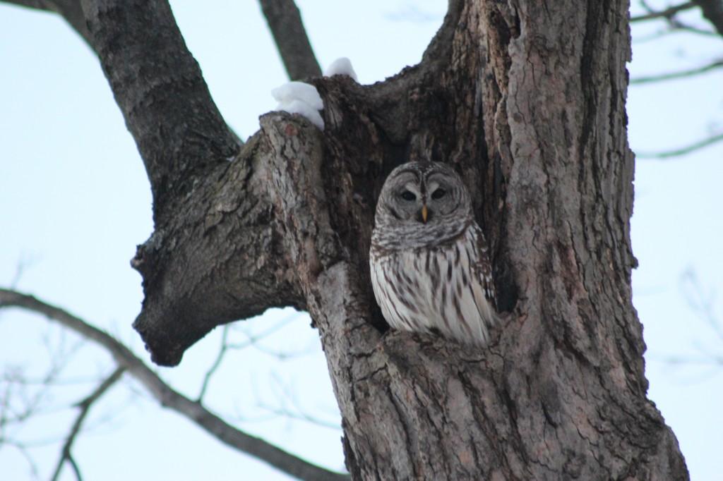 Owl-Dexter-home-2014