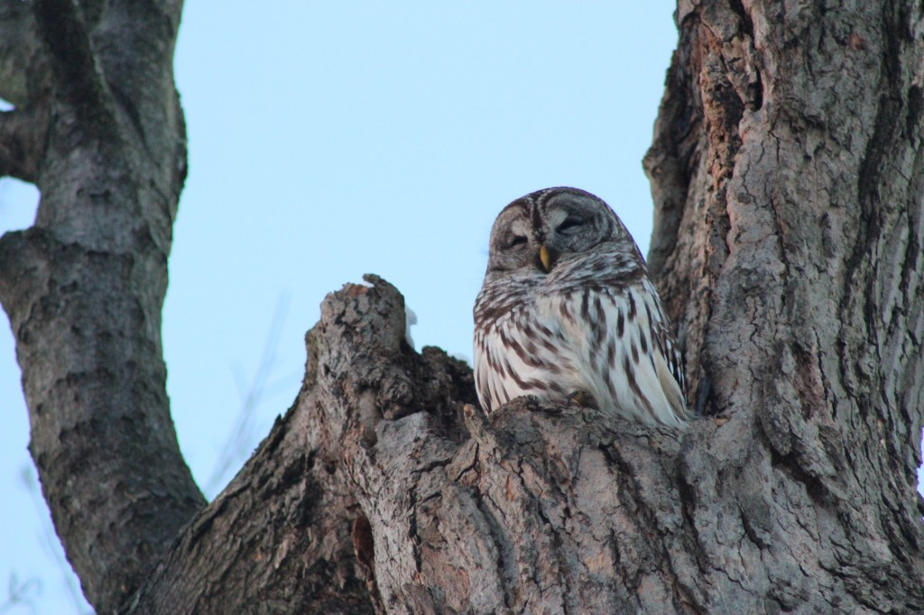 profile-sun-owl-2