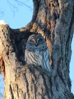 Southern Ohio Owl Barred Owl