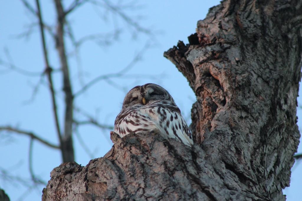 sun-profile-owl