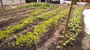 lettuce-otr-garden-2014