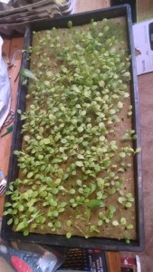lettuce-germination-indoor-2014-*-